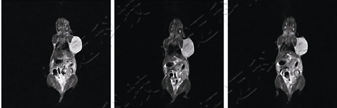小动物核磁共振成像|活体动物磁共振成像|不鼠磁共振