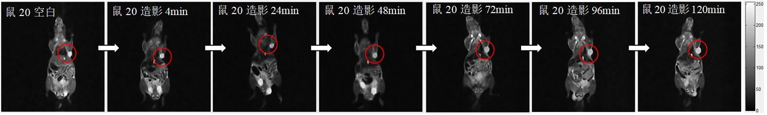 小鼠皮下肿瘤磁共振造影成像实验